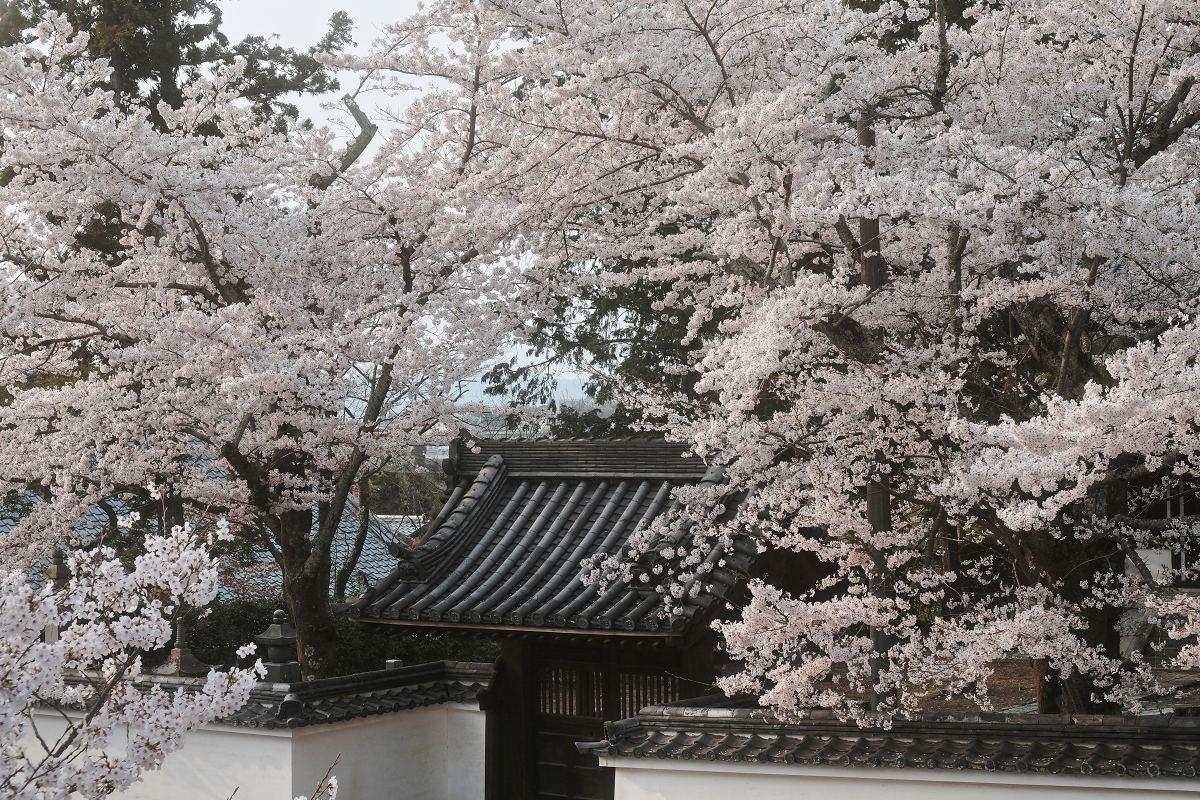 桜 2019_f0021869_23044879.jpg