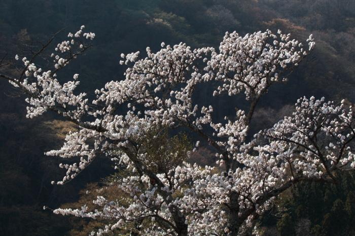 水上町猿ケ京温泉 赤谷湖の新緑とサクラ 前半 _e0165983_09555519.jpg