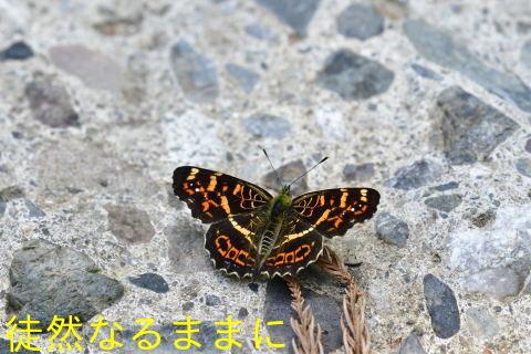サカハチチョウ_d0285540_20171573.jpg