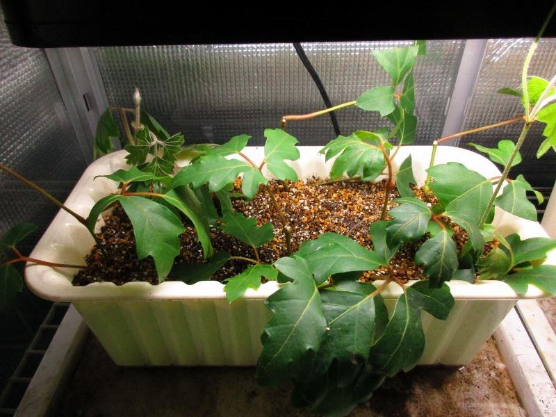 植物「アジアンタムはやっぱり難しい」_b0362459_11503284.jpg