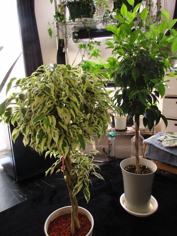 植物「アジアンタムはやっぱり難しい」_b0362459_11534613.jpg