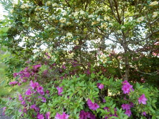 '19,5,12(日)黄色い滝のように咲くジャケツイバラ!_f0060461_04170311.jpg