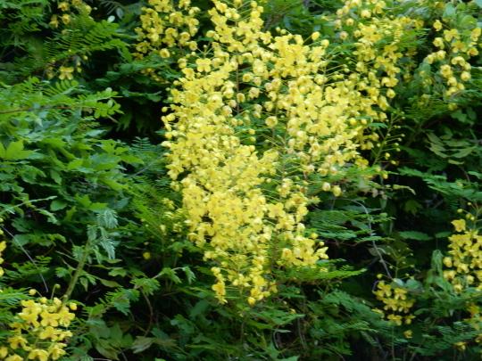 '19,5,12(日)黄色い滝のように咲くジャケツイバラ!_f0060461_04212892.jpg
