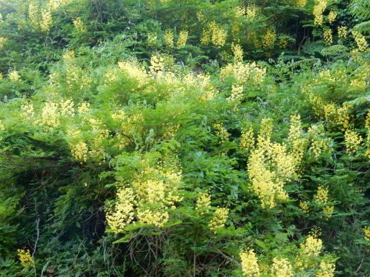 '19,5,12(日)黄色い滝のように咲くジャケツイバラ!_f0060461_04215190.jpg
