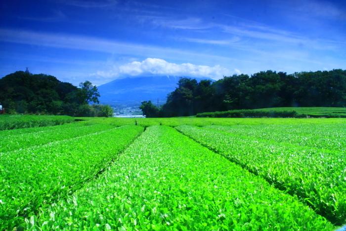 令和元年5月の富士(9)茶畑と雲に隠れた富士_e0344396_22032888.jpg