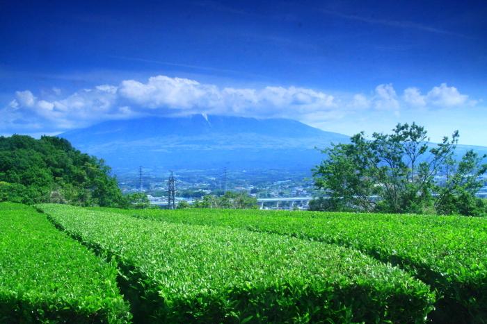 令和元年5月の富士(9)茶畑と雲に隠れた富士_e0344396_22033614.jpg