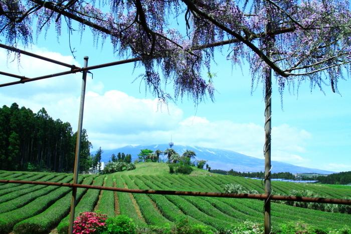 令和元年5月の富士(9)茶畑と雲に隠れた富士_e0344396_22035030.jpg