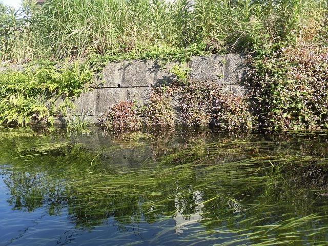 各町内の担当区間によって人数の過不足を調整する必要を感じた田宿川の川そうじ_f0141310_07493743.jpg