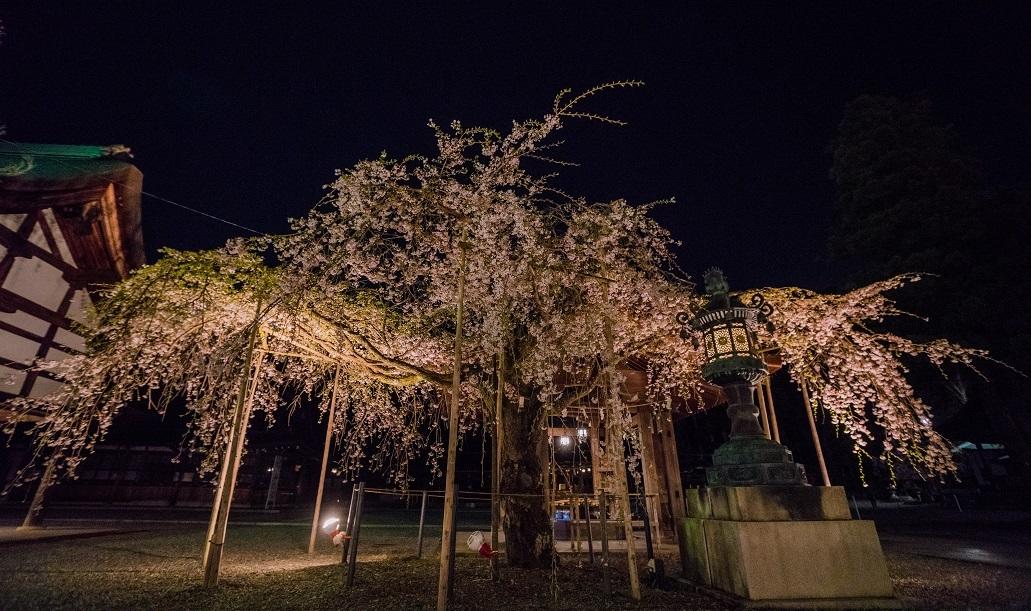 2019滋賀桜~多賀大社_e0363038_10062408.jpg