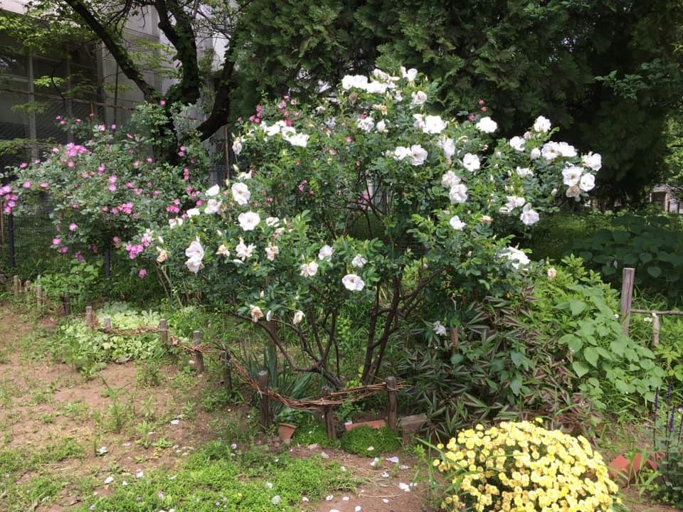 2019年5月の月例会/花柄摘み、雑草とり_a0094959_02084089.jpg