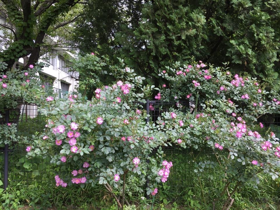 2019年5月の月例会/花柄摘み、雑草とり_a0094959_02084216.jpg
