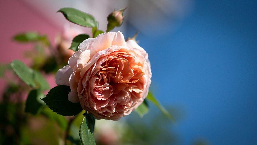 薔薇を愛でるテディベアたち_d0353489_20254721.jpg