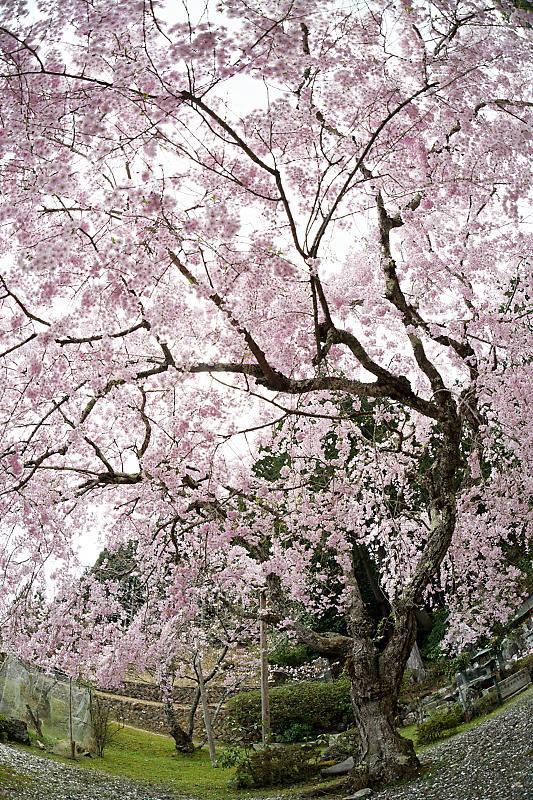 桜巡り2019@京北 大聖院_f0032011_20250834.jpg