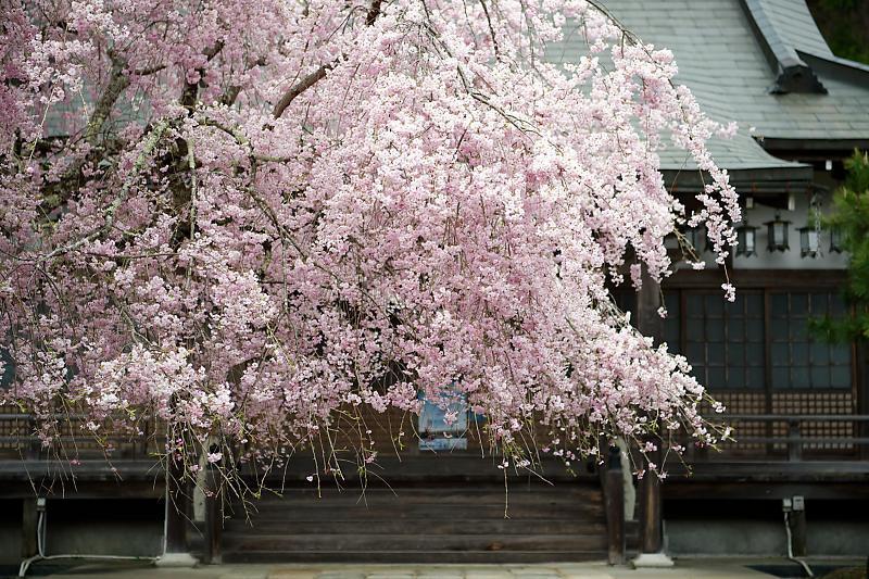 桜巡り2019@京北 大聖院_f0032011_20250891.jpg