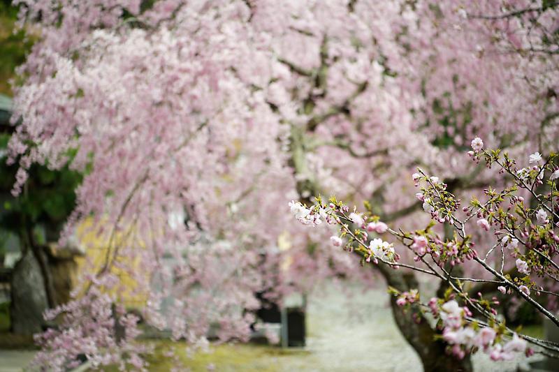 桜巡り2019@京北 大聖院_f0032011_20282046.jpg