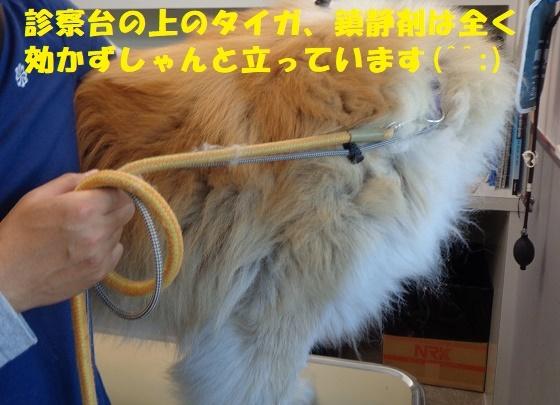 タイガの丸刈り狂騒曲^^;(その1)_f0121712_23041197.jpg
