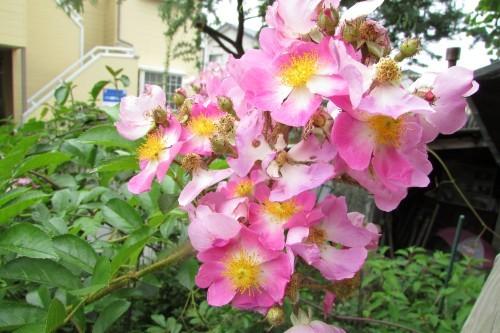 庭の花!_f0139520_14325781.jpg
