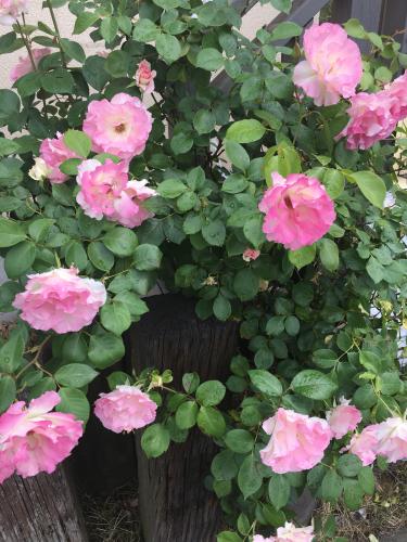 薔薇の季節_c0146921_13564613.jpg