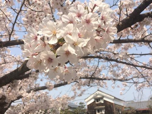 開花 Blooming〜日本縦断のさくら日記_e0103327_10163282.jpg