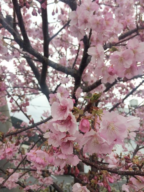 開花 Blooming〜日本縦断のさくら日記_e0103327_10165091.jpg