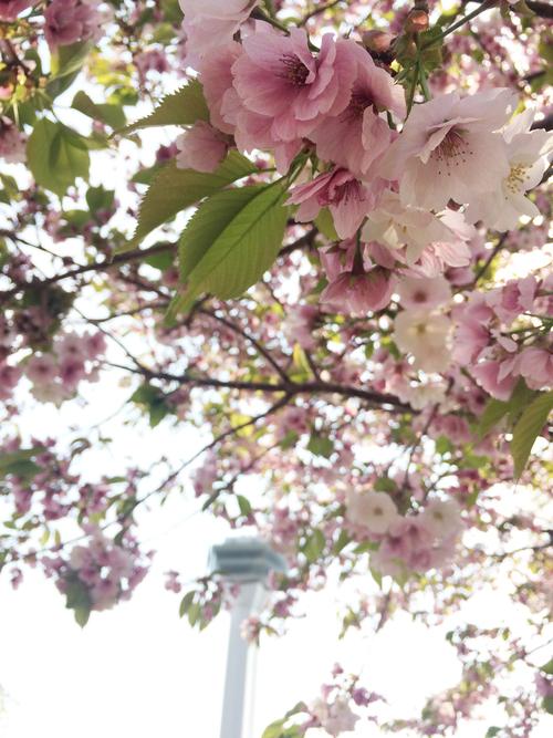 開花 Blooming〜日本縦断のさくら日記_e0103327_1017325.jpg