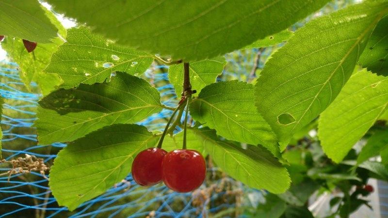 果物の宝石サクランボの収穫と散策路の整備_c0239329_20544881.jpg