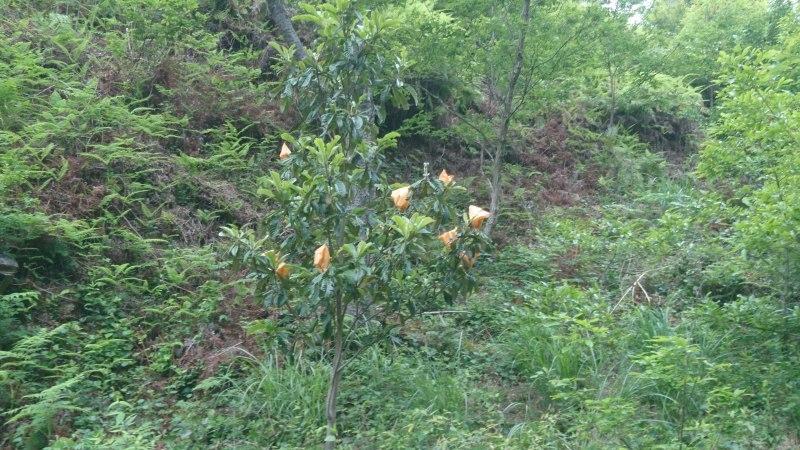 果物の宝石サクランボの収穫と散策路の整備_c0239329_20544924.jpg