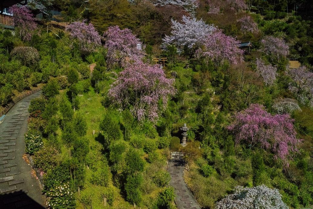 2019京都桜~善峯寺_e0363038_11094806.jpg