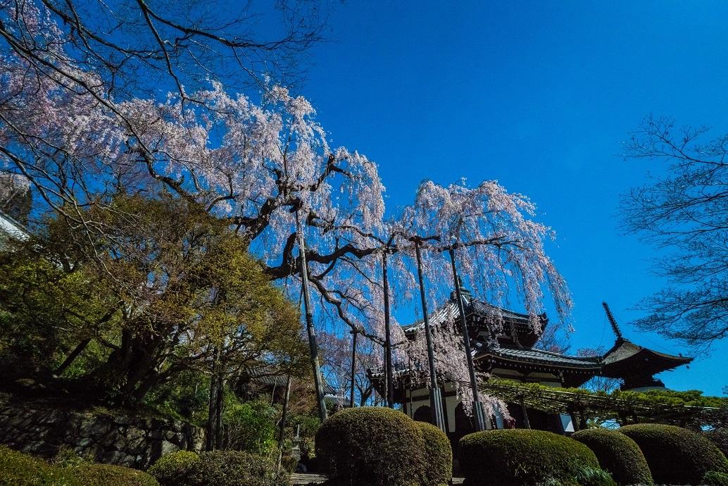 2019京都桜~善峯寺_e0363038_11095734.jpg