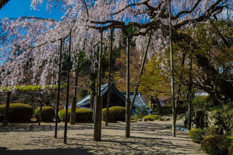 2019京都桜~善峯寺_e0363038_11100276.jpg