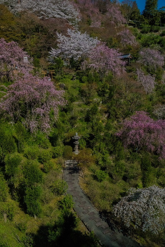 2019京都桜~善峯寺_e0363038_11100929.jpg