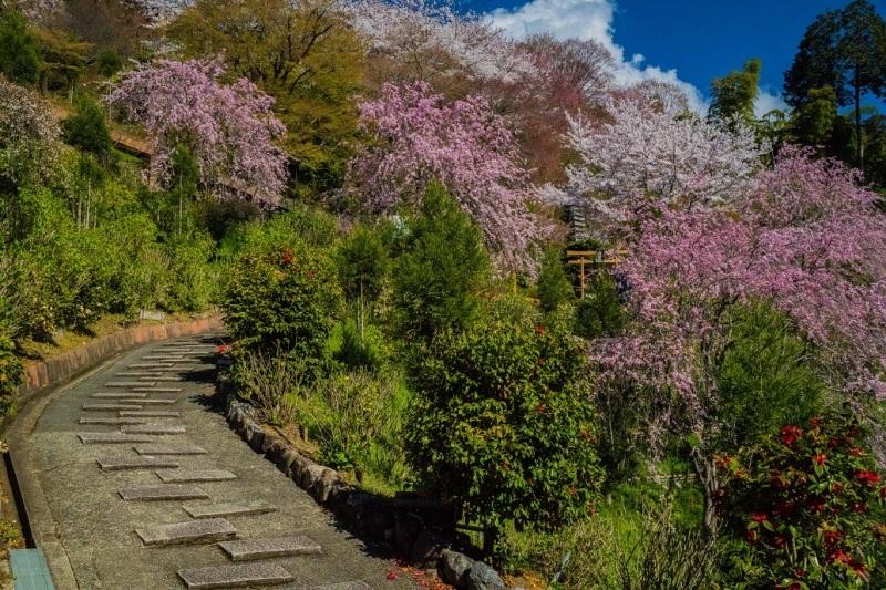 2019京都桜~善峯寺_e0363038_11101489.jpg