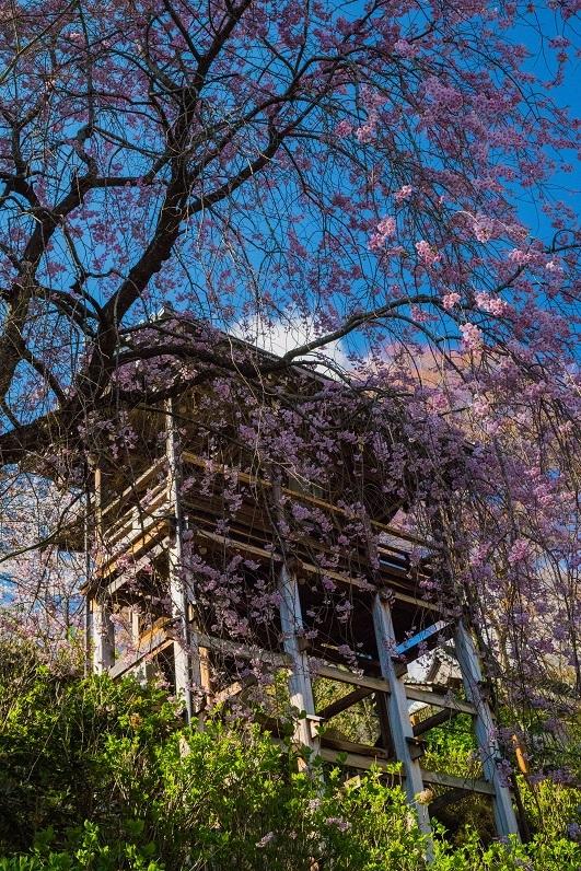 2019京都桜~善峯寺_e0363038_11102161.jpg