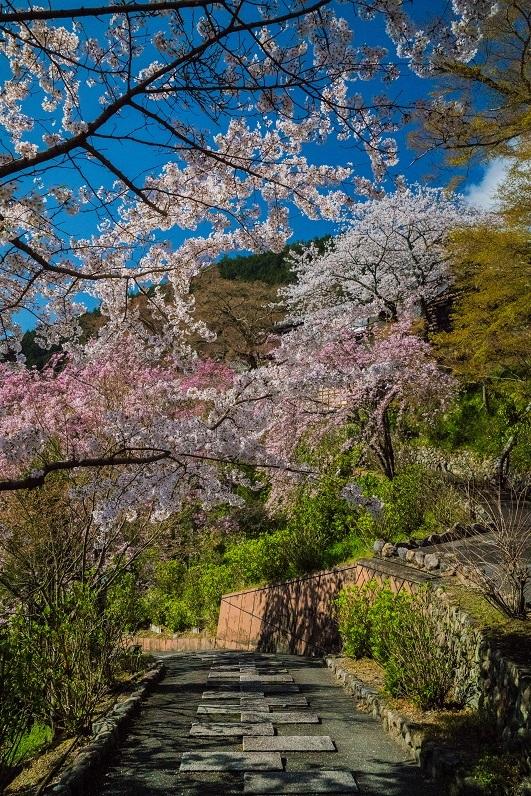 2019京都桜~善峯寺_e0363038_11102587.jpg