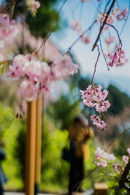 2019京都桜~善峯寺_e0363038_11183426.jpg