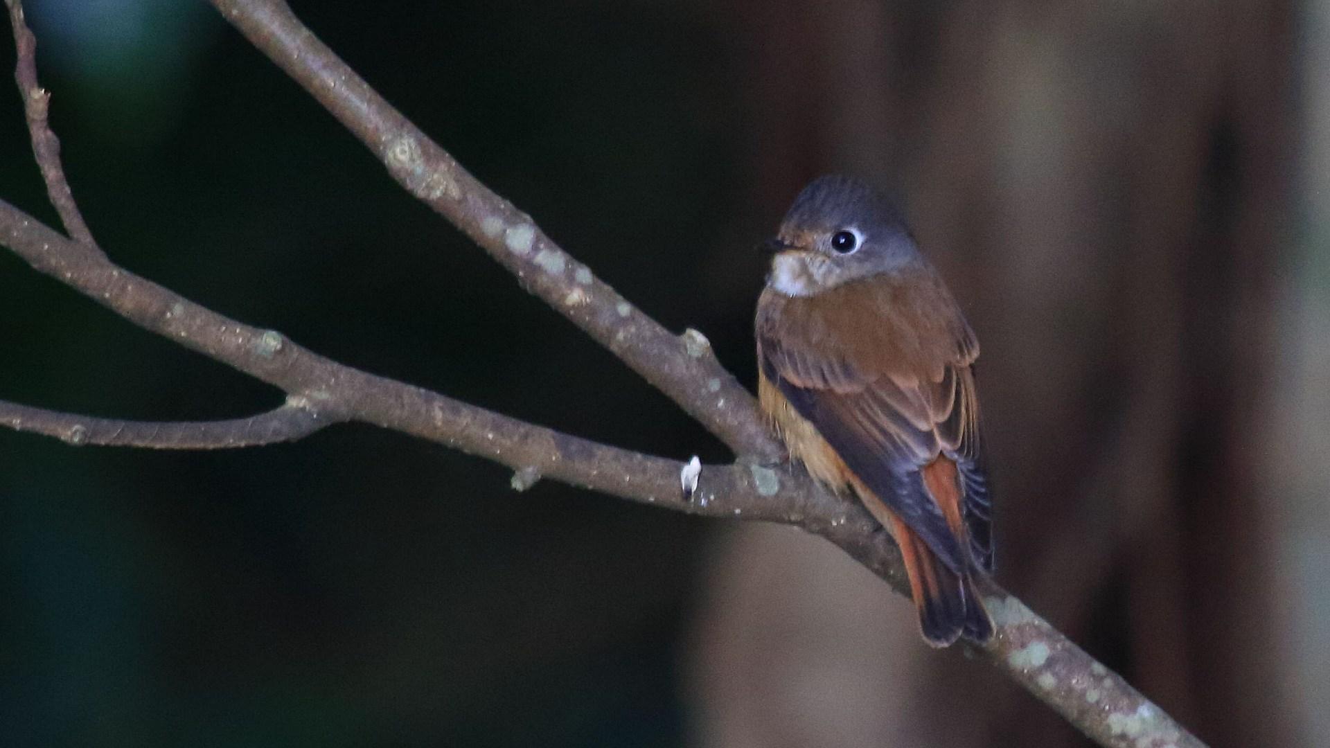 修行の旅?南の離島遠征報告その9:最後に超珍鳥のミヤマヒタキをもう一度_f0105570_21103068.jpg