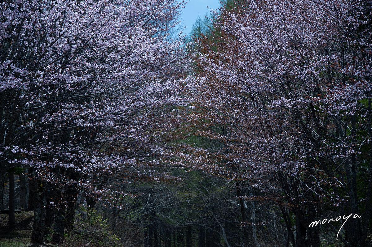 戸隠高原の桜_c0085877_07000527.jpg