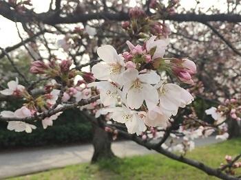 桜の花が咲き始め~ 娘2新しい旅立ち!??_e0123286_18201570.jpg