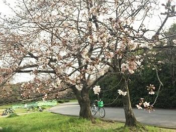 桜の花が咲き始め~ 娘2新しい旅立ち!??_e0123286_18210934.jpg