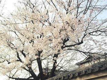 桜の花が咲き始め~ 娘2新しい旅立ち!??_e0123286_18212130.jpg