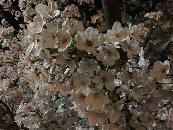 夜桜見物 岸和田城で 超!観光気分~♪_e0123286_19283419.jpg
