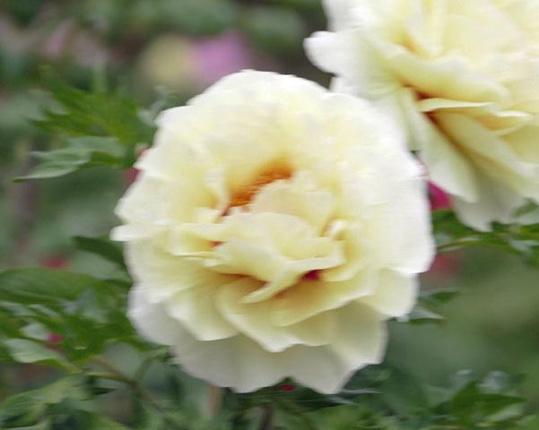 福島県須賀川市 「ボタン園」_d0106628_20453533.jpg
