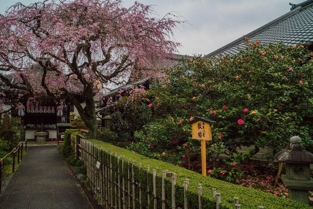 2019京都桜~地蔵院の枝垂れ桜_e0363038_13473681.jpg