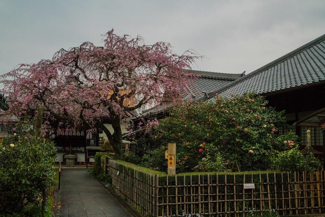 2019京都桜~地蔵院の枝垂れ桜_e0363038_13474311.jpg