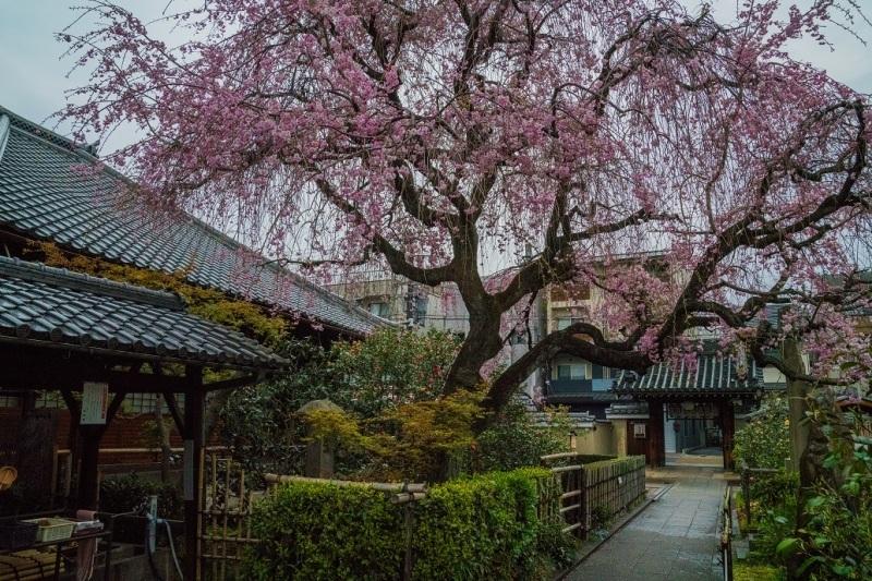 2019京都桜~地蔵院の枝垂れ桜_e0363038_13475008.jpg