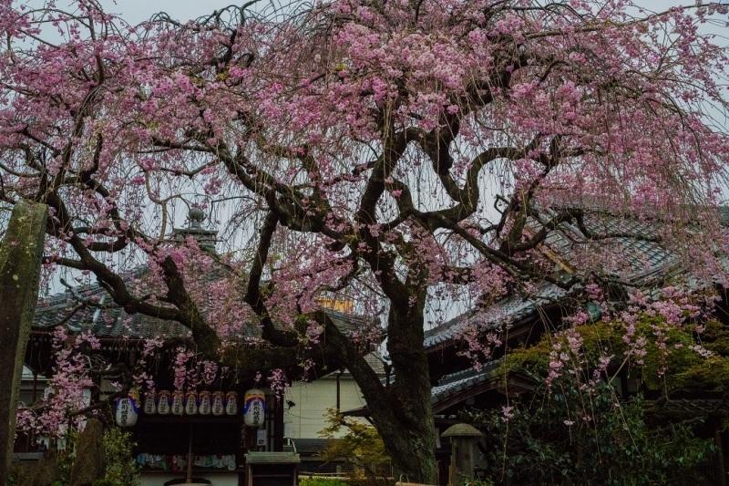 2019京都桜~地蔵院の枝垂れ桜_e0363038_13475687.jpg