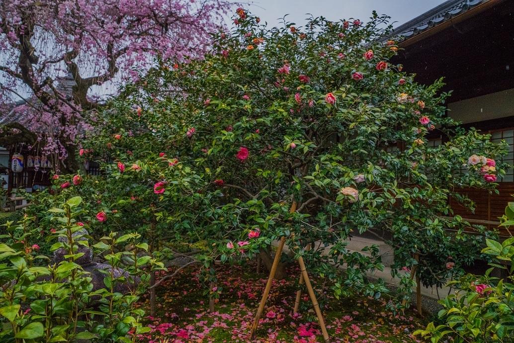 2019京都桜~地蔵院の枝垂れ桜_e0363038_13480000.jpg