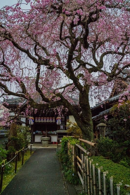 2019京都桜~地蔵院の枝垂れ桜_e0363038_13480317.jpg
