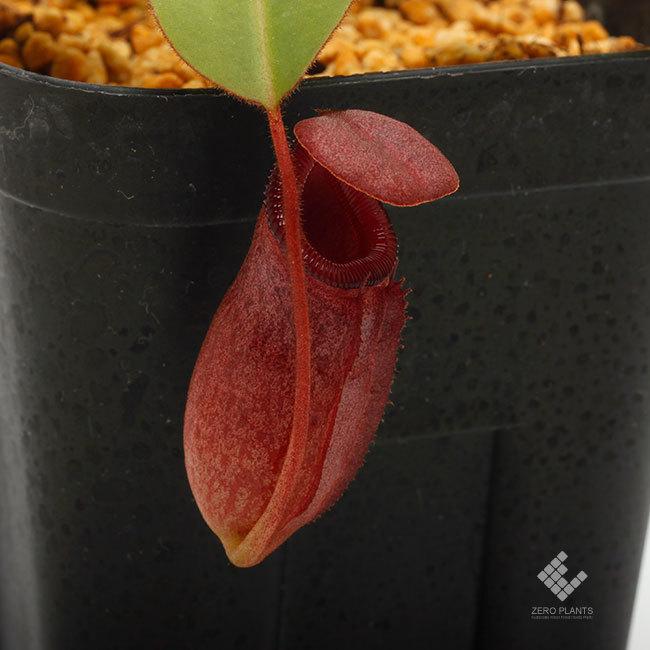 New arrival plants | 新掲載植物 ネペンテス新交配品種などを掲載致しました。_d0376039_19425953.jpg