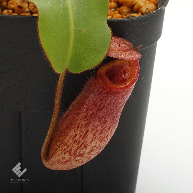 New arrival plants | 新掲載植物 ネペンテス新交配品種などを掲載致しました。_d0376039_19514082.jpg